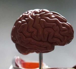 Brain model on pole