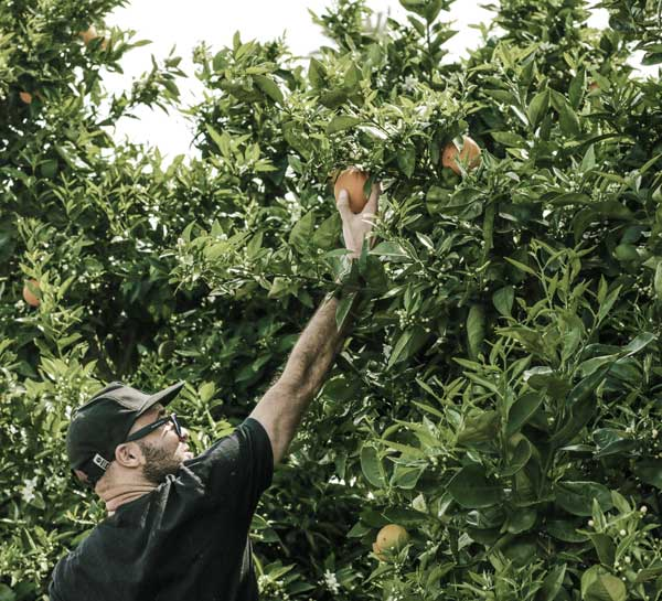 A man plucks an apple from a tree